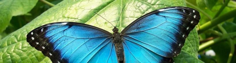 cropped-mariposa-azul4